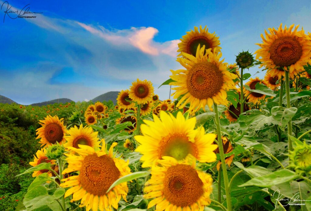 Sunflower field with beautiful HDR cloud