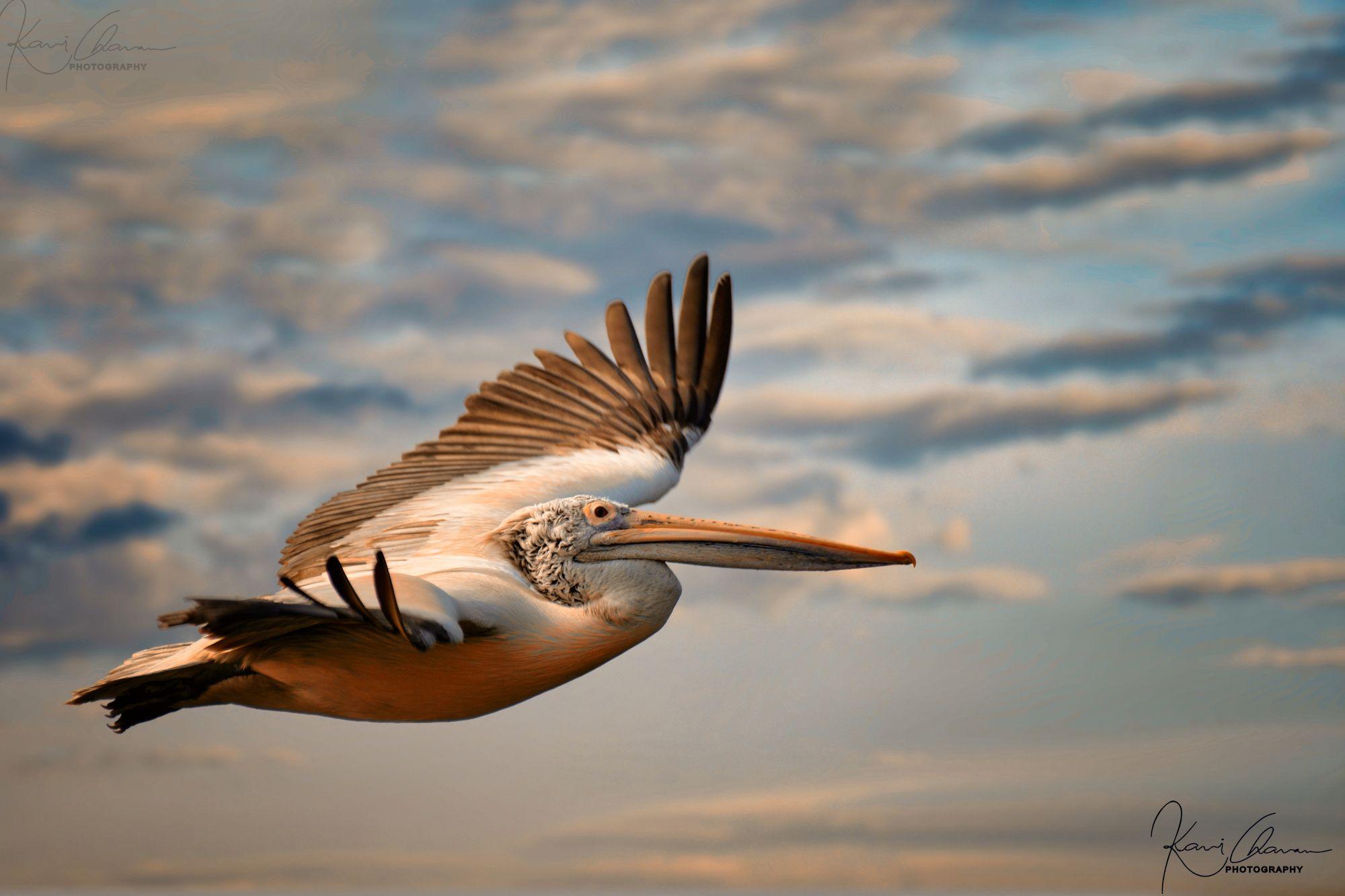 Spot-billed pelican flying high
