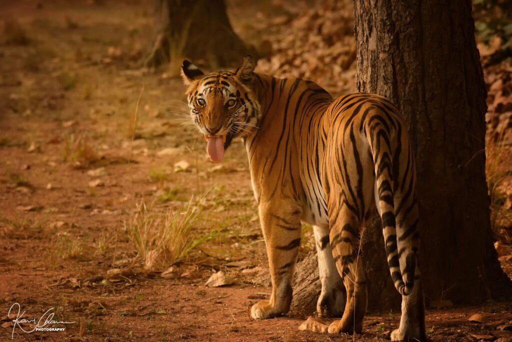 dotty the tigress while doing Flehmen's response to check presence of other tigers