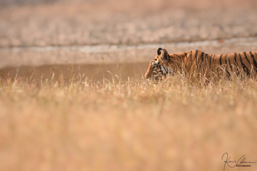 Tiger was crossing grasslands